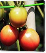 Tomatoes Ripening On The Vine Canvas Print