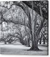 Tomotley Plantation Oaks Canvas Print