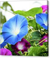 Top Of The Morning Glories Canvas Print