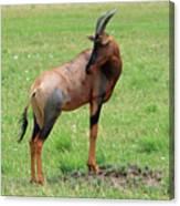 Topi Antelope - Masai Mara - Kenya Canvas Print