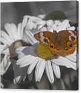 Topsail Butterfly Canvas Print