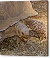 Tortoise Eating Lunch In Living Desert Zoo And Gardens In Palm Desert-california  Canvas Print