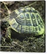 Tortoise Photobomb Canvas Print
