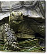 Tortoise's Stare Canvas Print