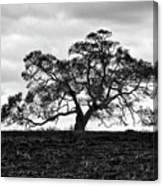 Tortue Oak Canvas Print