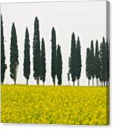 Toscana Cypresses Canvas Print