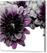 Touch Of Pink Mums Canvas Print