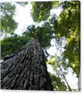 Towering California Redwood Trees Canvas Print