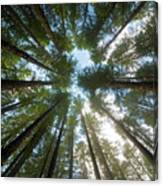 Towering Fir Trees In Oregon Forest State Park Canvas Print