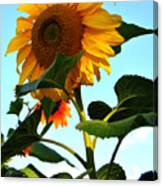 Towering Sunflower Canvas Print