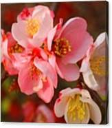 Toyo-nishiki Quince Blooms Canvas Print