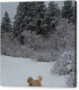 Traildog Loving The Winter Scene In The Flatirons Canvas Print