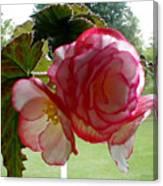Translucent Begonia Canvas Print