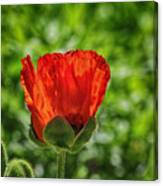 Translucent Poppy Canvas Print
