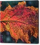 Translucent Red Oak Leaf Study Canvas Print