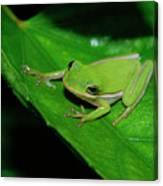 Tree Frog On Hibiscus Leaf Canvas Print