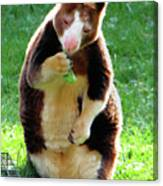 Tree Kangaroo Canvas Print