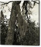 Tree Moss Canvas Print