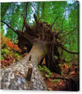 Tree Root Ball Canvas Print