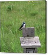 Tree Swallow 1 Canvas Print