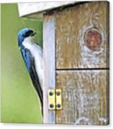 Tree Swallow At Nesting Box Canvas Print