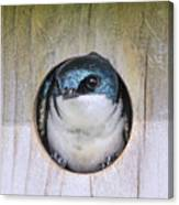 Tree Swallow In Nest Box Canvas Print