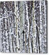 Tree Trunks Covered With Snow In Winter Canvas Print