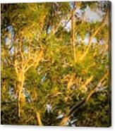 Tree With V Shaped Branches Canvas Print