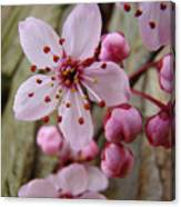 Trees Art Prints Canvas Pink Blossoms Spring Blue Sky Baslee Troutman Canvas Print