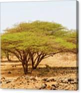 Trees In Kenya Canvas Print