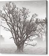 Trees In Mist- St Lucia Canvas Print
