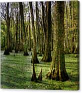 Trees In The Swamp Canvas Print