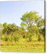 Trees In Zambia Canvas Print