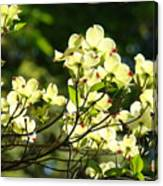 Trees Landscape Art Sunlit White Dogwood Flowers Baslee Troutman Canvas Print