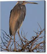 Tri Color Heron Canvas Print