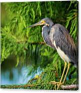 Tri-colored Heron At Sunset  Canvas Print
