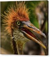 Tri Colored Heron Chick Canvas Print