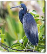 Tri-colored Heron On A Branch  Canvas Print