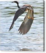 Tri Colored Heron Over The Pond Canvas Print