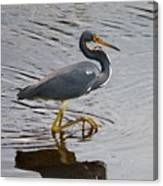 Tri-colored Heron Wading In The Marsh Canvas Print