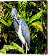 Tricolored Heron 3 Canvas Print