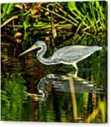 Tricolored Heron 5 Canvas Print