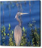 Tricolored Heron In Monet Like Setting Canvas Print
