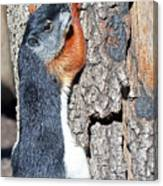 Tricolored Squirrel Canvas Print