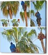 Trimming The Palm Trees Canvas Print