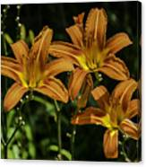 Trio Of Orange Tiger Lilies Canvas Print