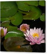 Trio Of Pink Lotus Waterlilies Canvas Print