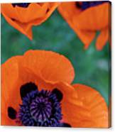 Trio Of Poppies Canvas Print