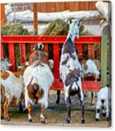 Trip Of Goats At Feeding Time Canvas Print