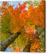 Triple The Maples Canvas Print